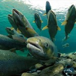 spawning-atlantic-salmon-738342-ga